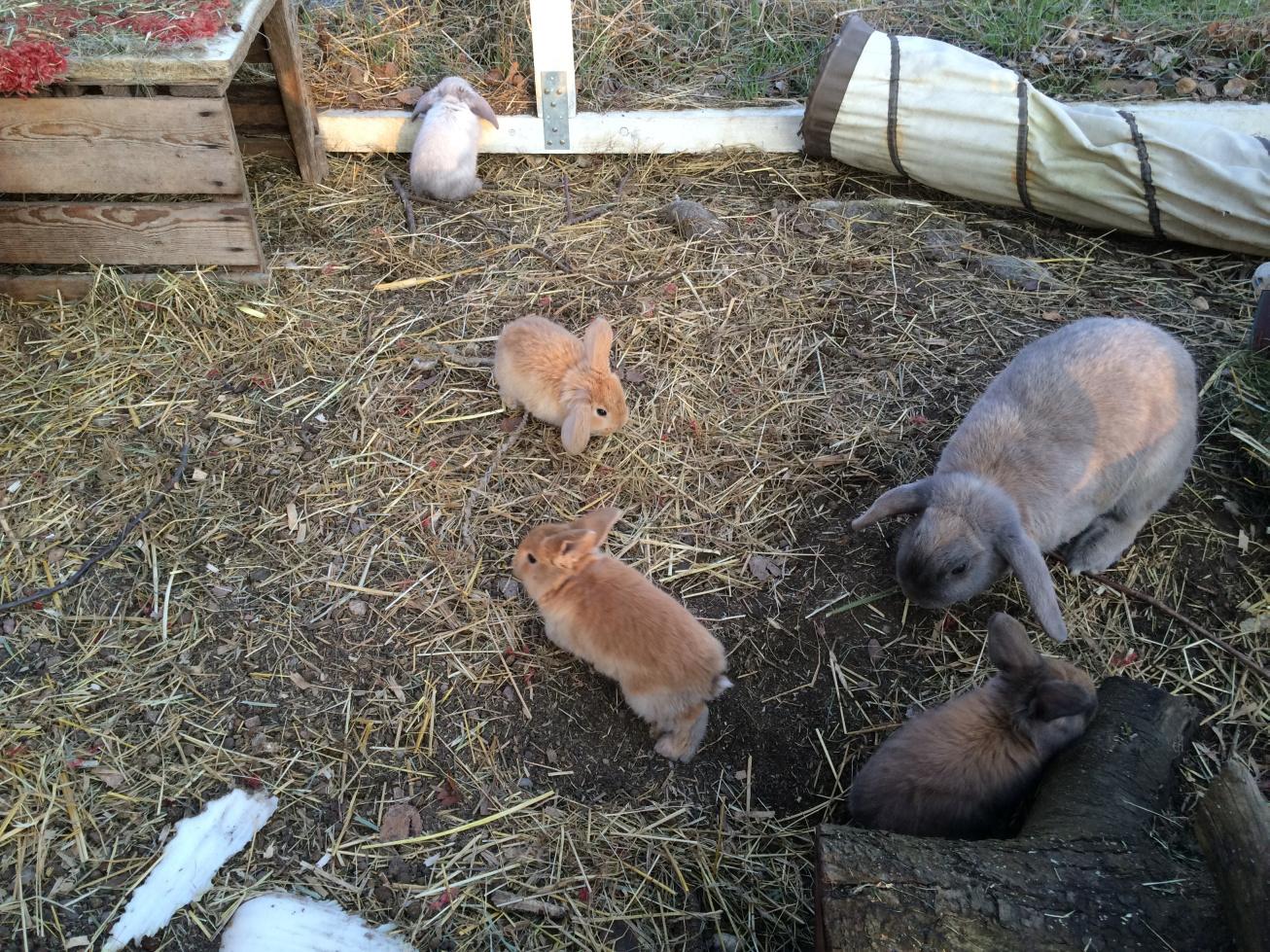 tiger frisst seinen ersten kaninchen